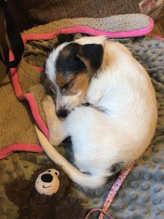 scentwork terrier puppy sleeping on blanket