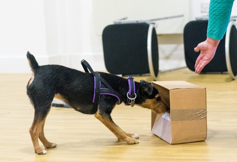 scentwork dog pepsi black and tan terrier sniffing a box