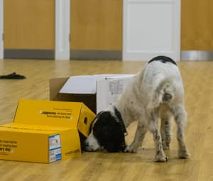 spaniel searches box