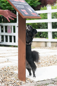 Scentwork chihuahua searches sign