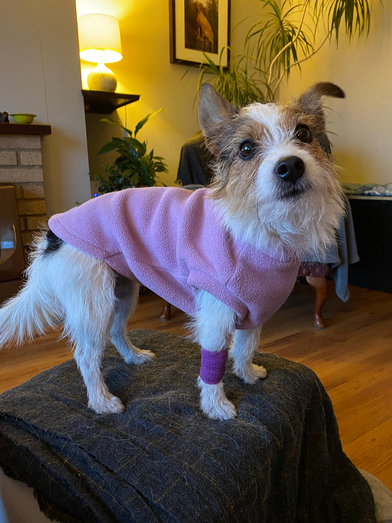 terrier with bandage and coat