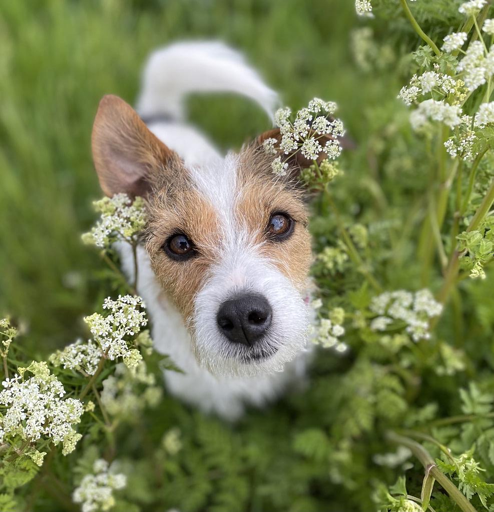 sweet Nettie in the cowslips