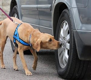 scentwork labrador searches car