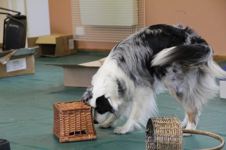 Scentwork Australian shepherd searches baskets