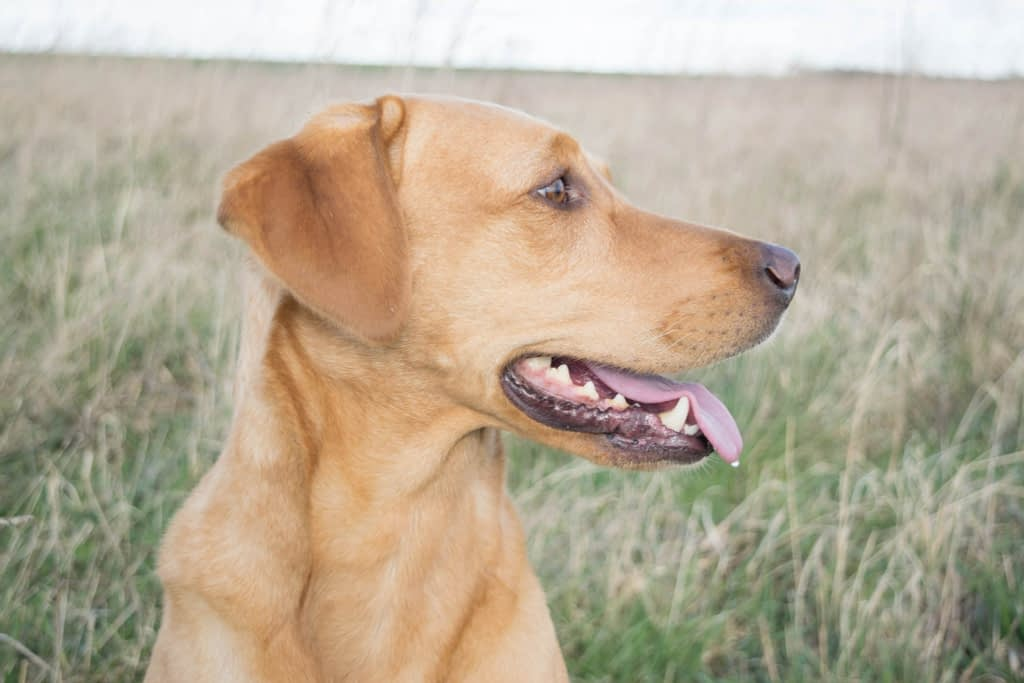 happy lab looking to the side to show why knowledge is worth pursuing