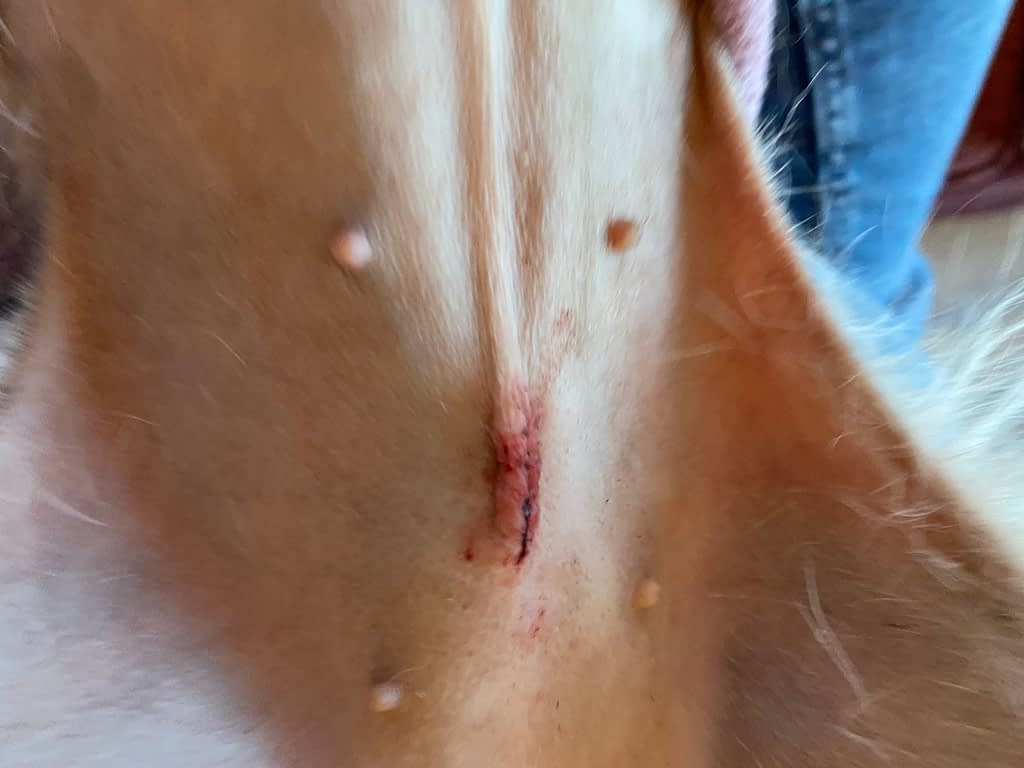 spay wound