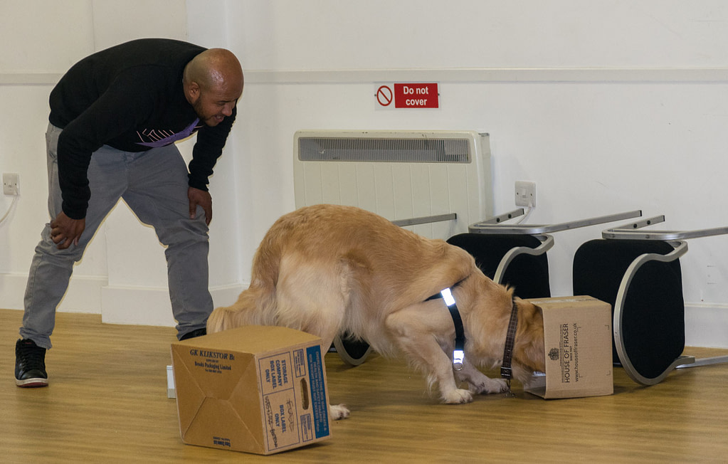 scentwork team man is happy that his golden retriever has found the stash