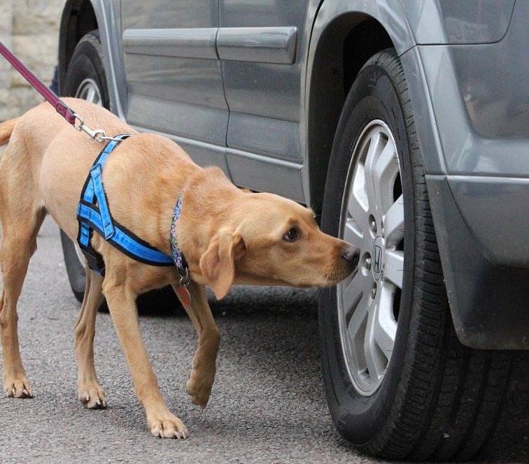 scentwork labrador searches car
