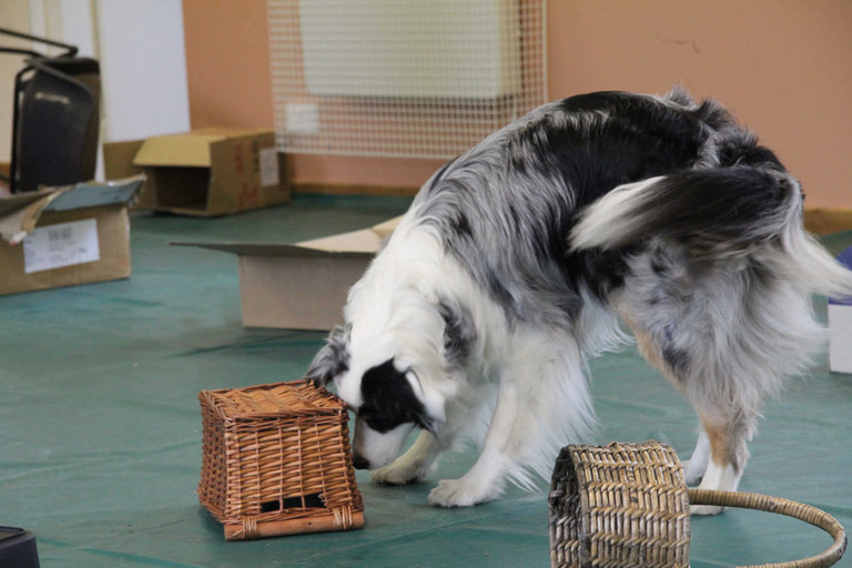 Scentwork Australian shepherd searches baskets