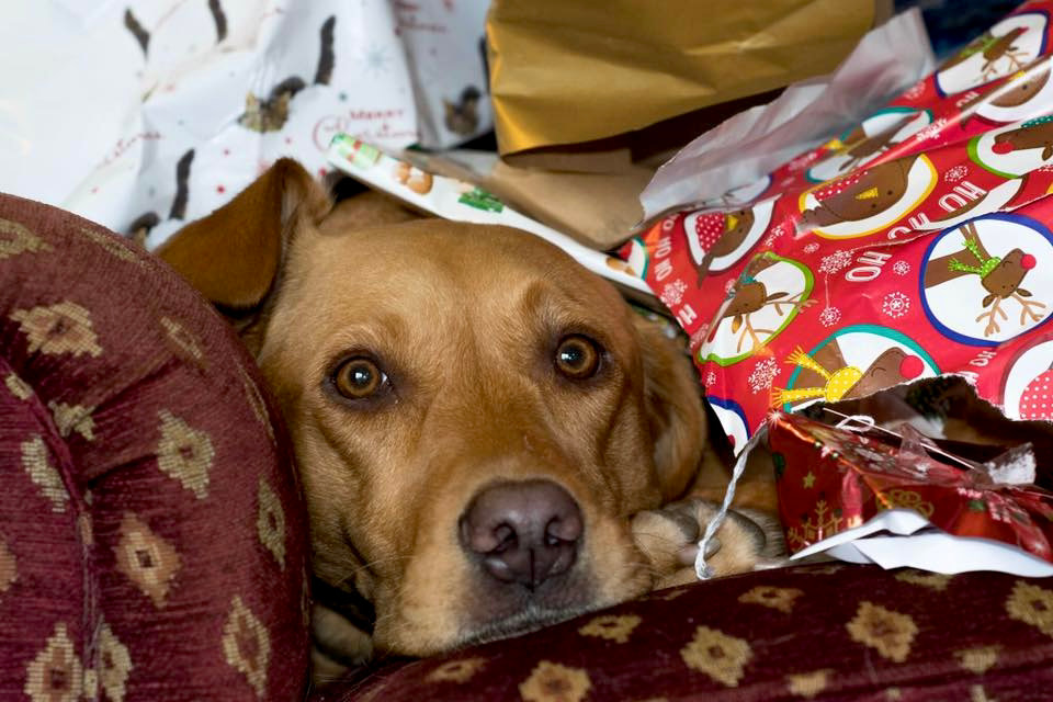 lab face under Christmas wrapping paper