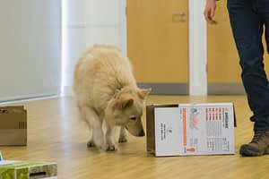 scent 1 white german shepherd dog searches boxes