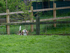 beagle air scenting in field